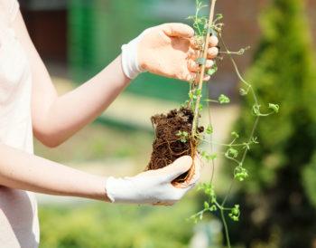 Außergewöhnlich Clematis einpflanzen - So gehen Sie am besten vor (Waldrebe) @TB_78