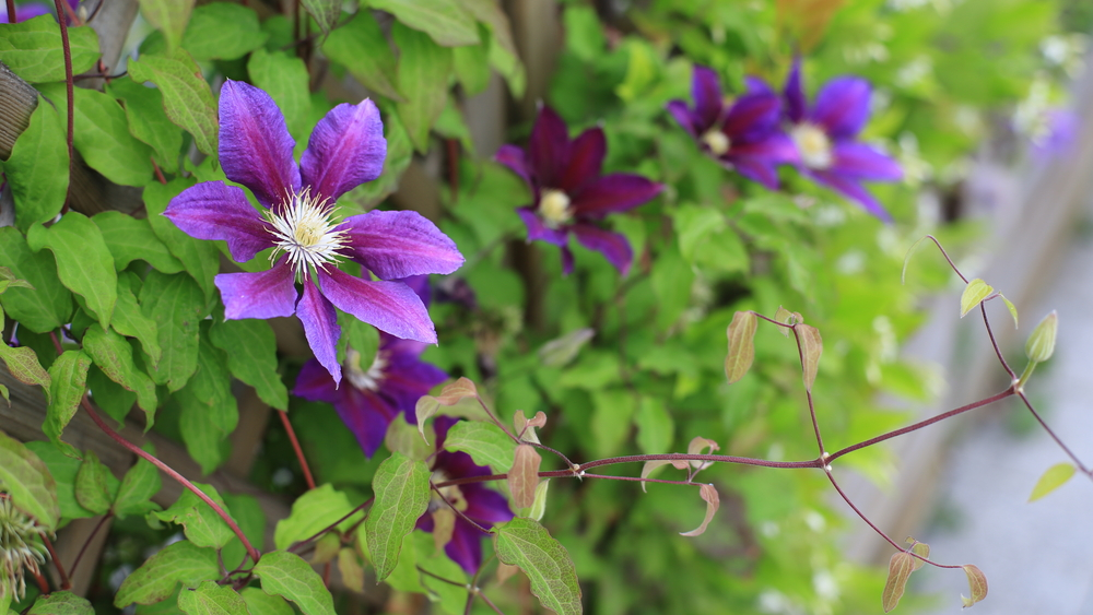 clematis-hecke