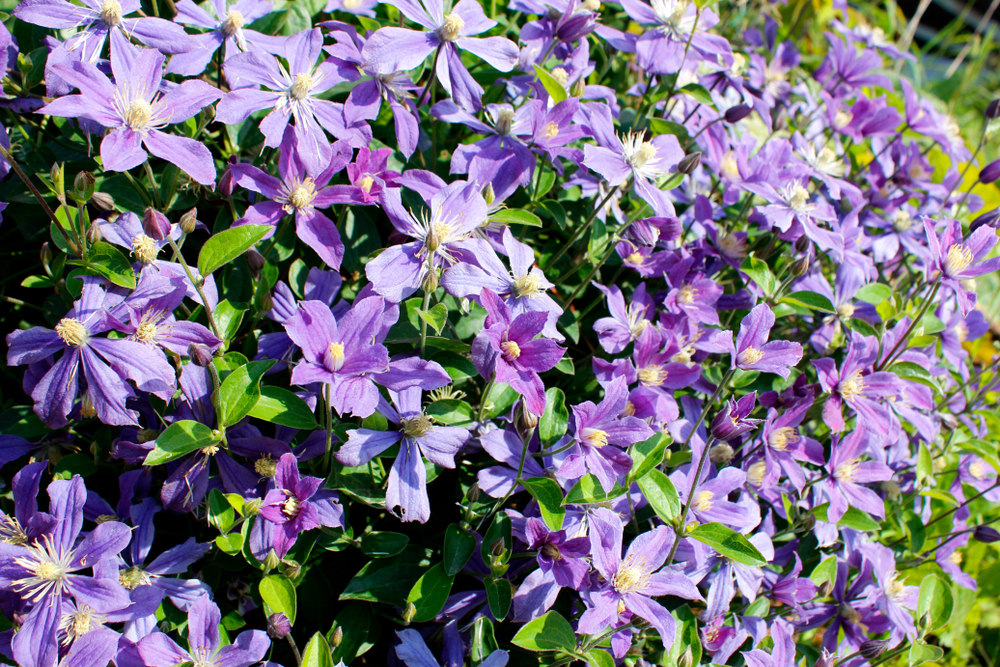 clematis-pflanzabstand