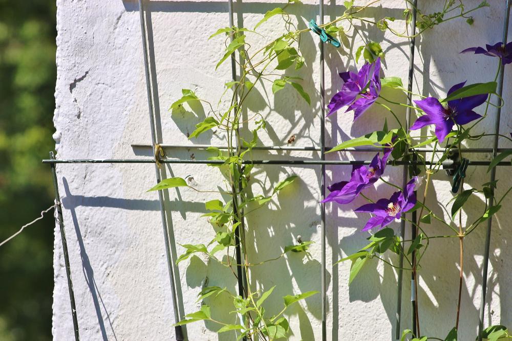 clematis-pflanzen