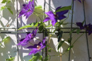 clematis-sonne