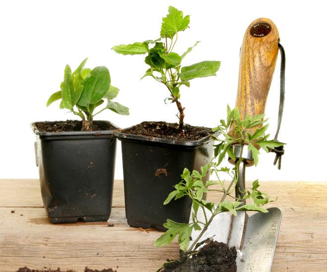 clematis-vermehren