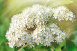 Alles zur Blüte der Eberesche (Vogelbeere)