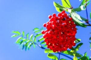 Die Früchte der Eberesche