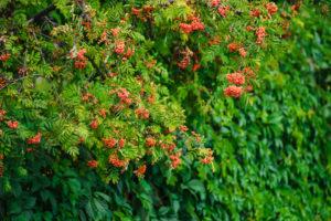 Eberesche im Garten anpflanzen – das sollten Sie wissen