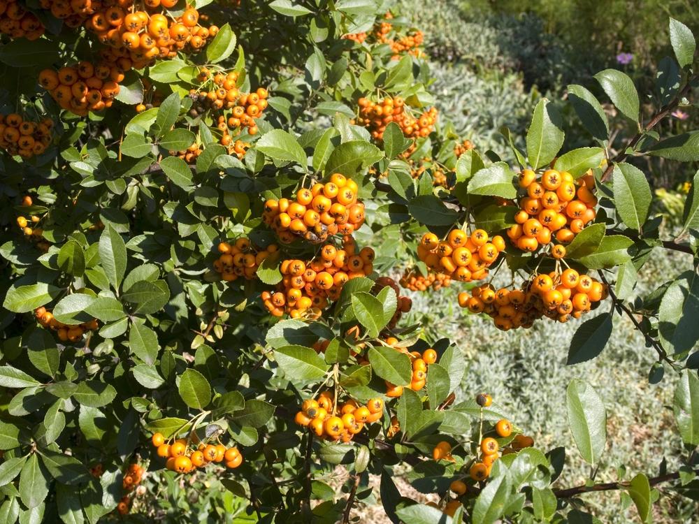 feuerdorn-pflanzen