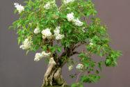 flieder-bonsai