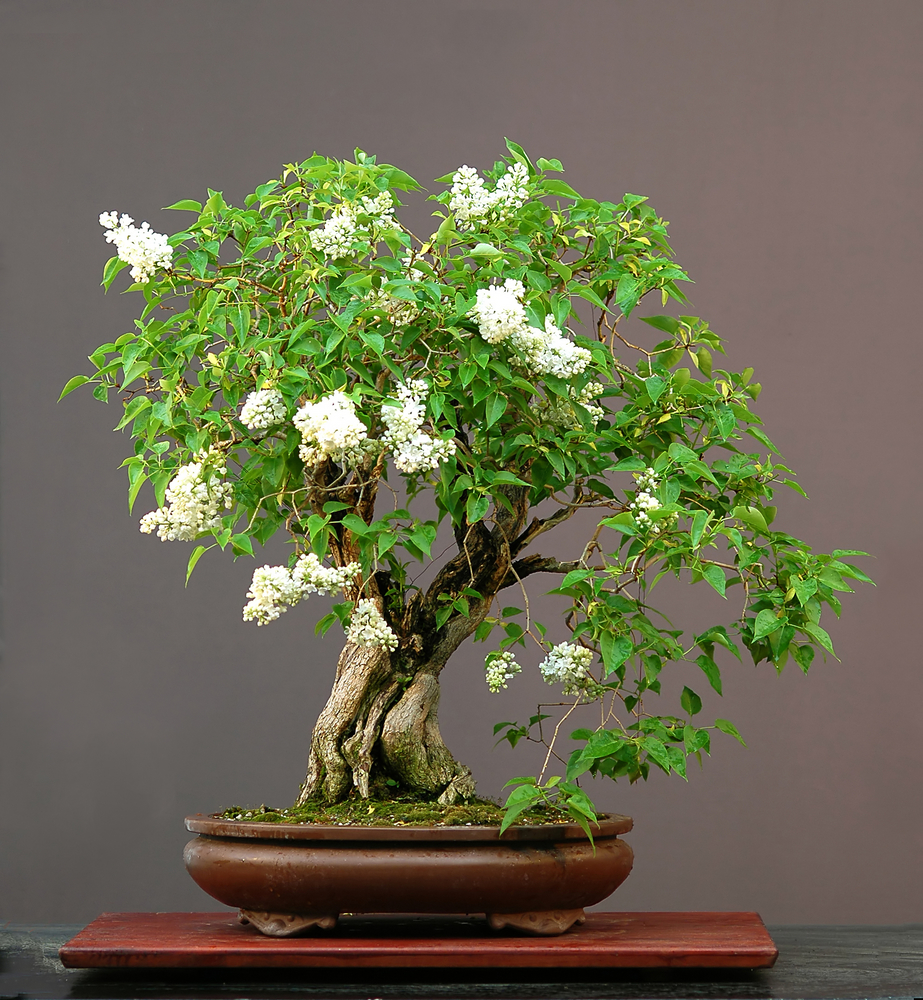 flieder-bonsai