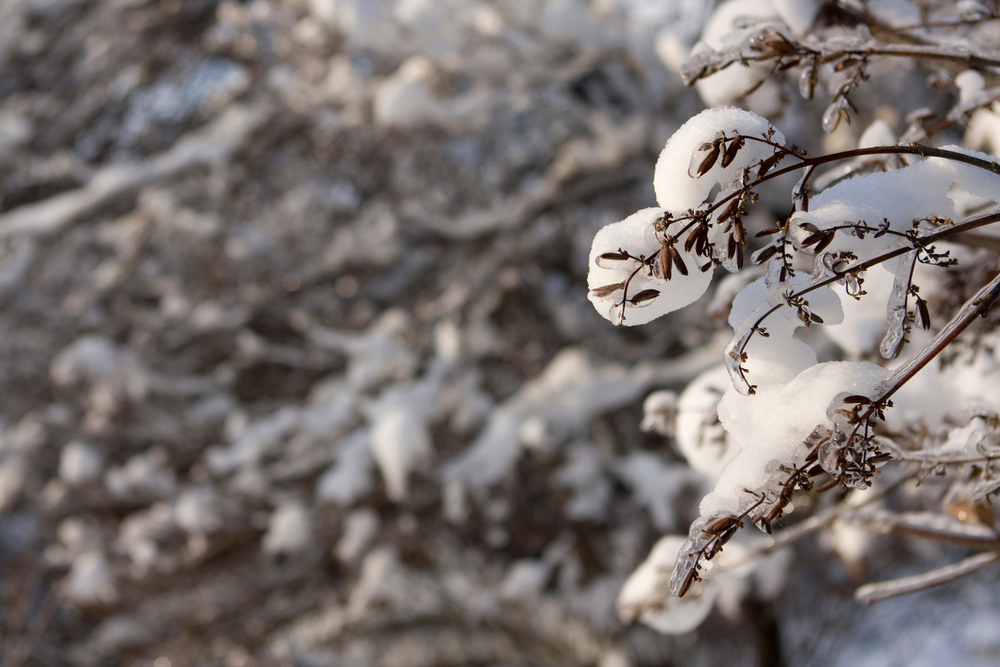 flieder-im-winter
