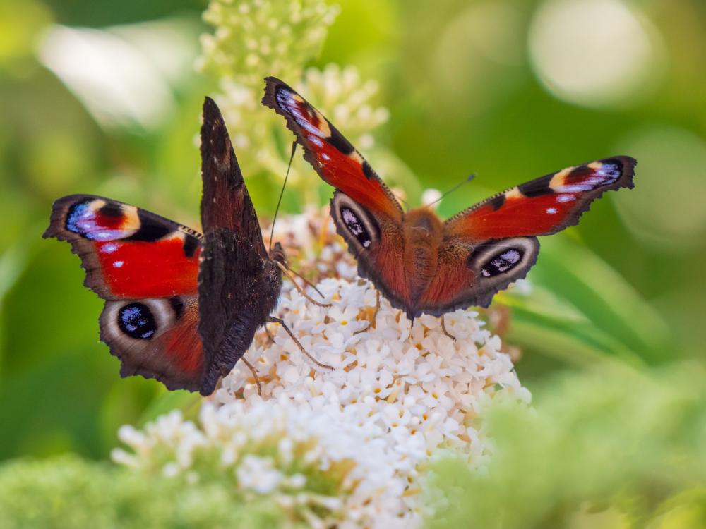 flieder-insekten