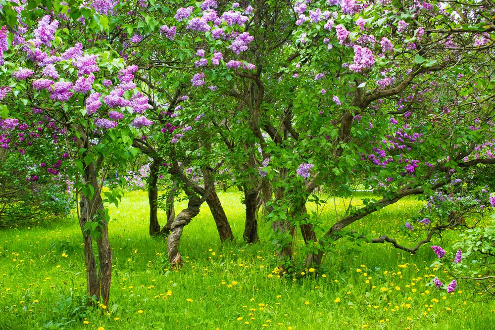 flieder-unterpflanzen