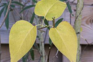Flieder verliert seine Blätter – das steckt dahinter