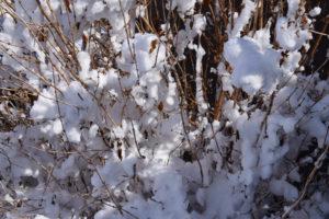 Ist Flieder winterhart?