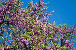 Wuchshöhe des Flieders – Wie hoch kann Syringa wachsen?