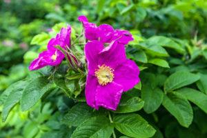 Hagebutte-Blüten: alle Informationen zur Blütezeit und mehr