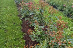 Hagebutten pflanzen – Sorten, Zeitpunkt und Standort im Detail