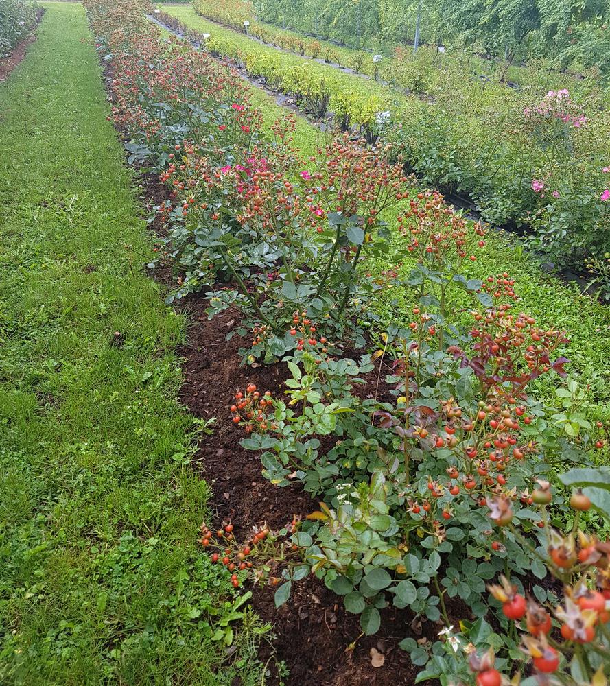 hagebutte-pflanzen