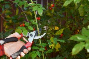 Hagebutten schneiden: blühfreudige Rosen durch richtigen Schnitt