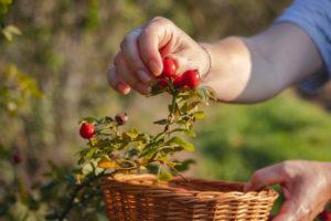 Hagebutten ernten – Alle Infos für eine reiche Ernte