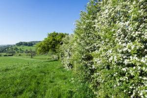 Mispeln als Hecke pflanzen – funktioniert das?