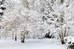 Ist die Mispel winterhart und frostresistent?