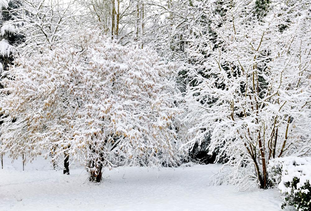 mispel-winterhart