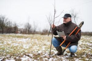 Quittenbaum pflanzen – das gibt es zu beachten