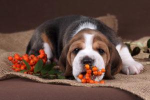 Sind Vogelbeeren giftig für Hunde?