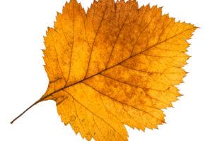 Weißdornblätter – Erscheinungsbild und Verwendung