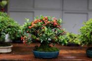 weissdorn-bonsai