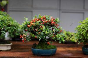 Weißdorn als Bonsai – ein kunstvoller Blickfang für Ihren Garten