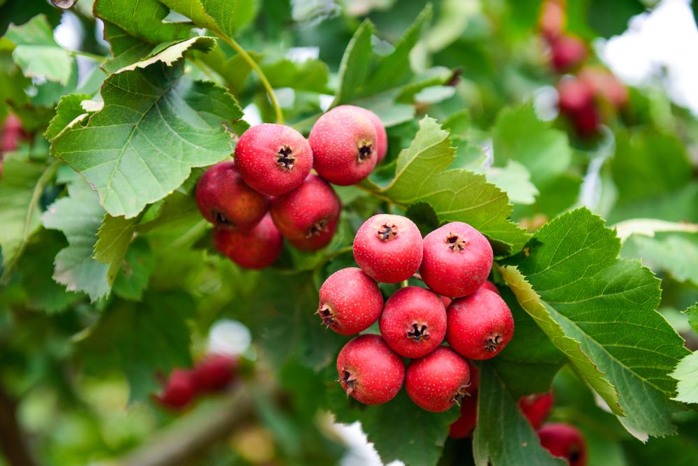 weissdorn-frucht