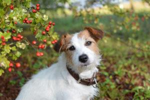 Weißdorn für Hunde – sinnvolle Nahrungsergänzung zur Stärkung des Herzens