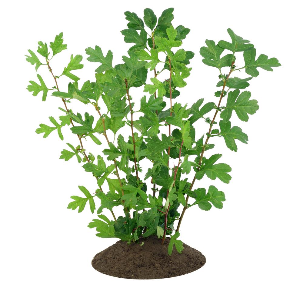 weissdorn-pflanzen