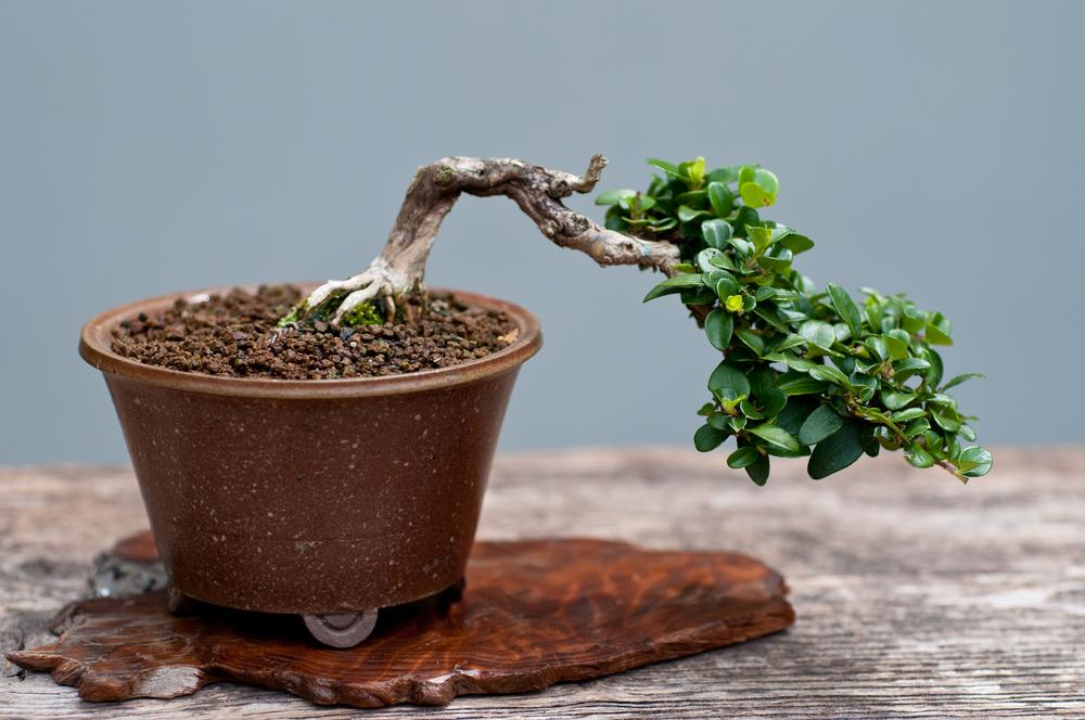 zwergmispel-bonsai