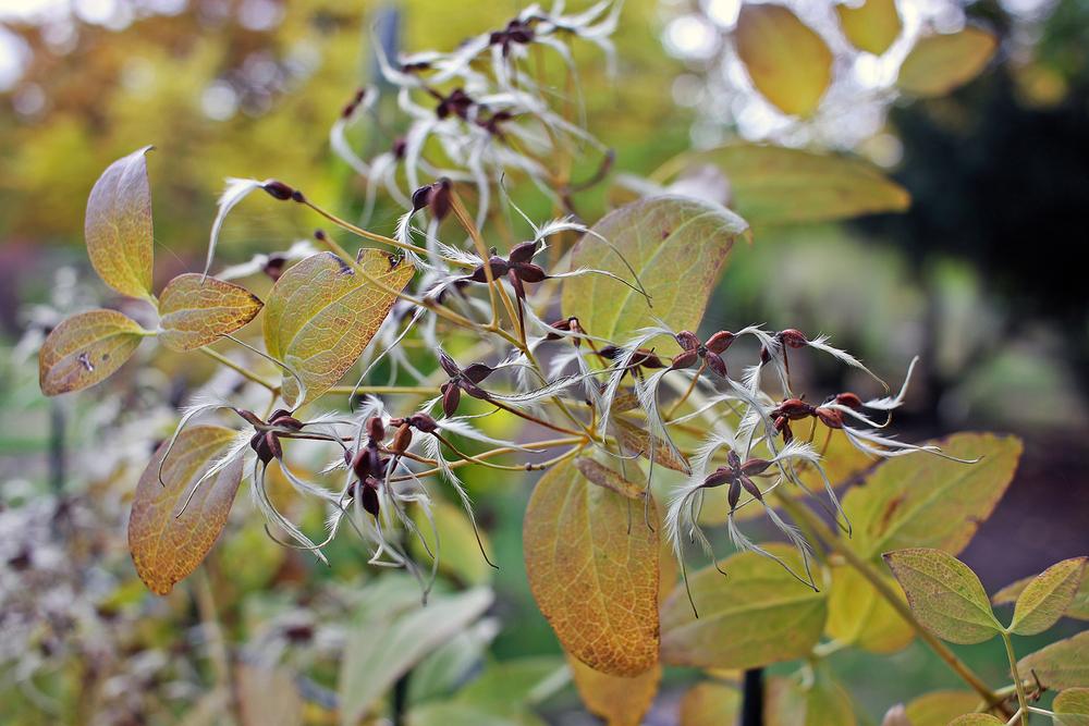 clematis-umpflanzen