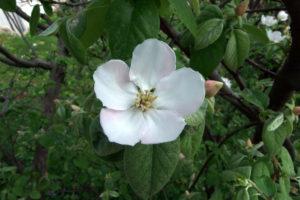 Quittenblüten – Aussehen und Wissenswertes