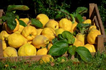 Quitten Ernten Wann Ist Erntezeit Der Vitaminreichen Früchte