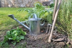 Artischocken im Garten anpflanzen