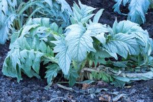 Artischocken überwintern – so bekommen Sie das Blühgemüse über den Winter