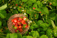 bodendecker-erdbeeren