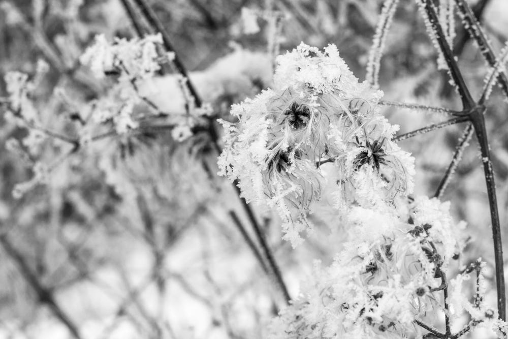 clematis-winterhart