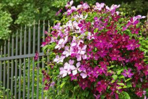 Blühende Begrenzung: Clematis am Zaun pflanzen