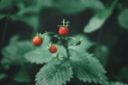 erdbeeren-alte-sorten