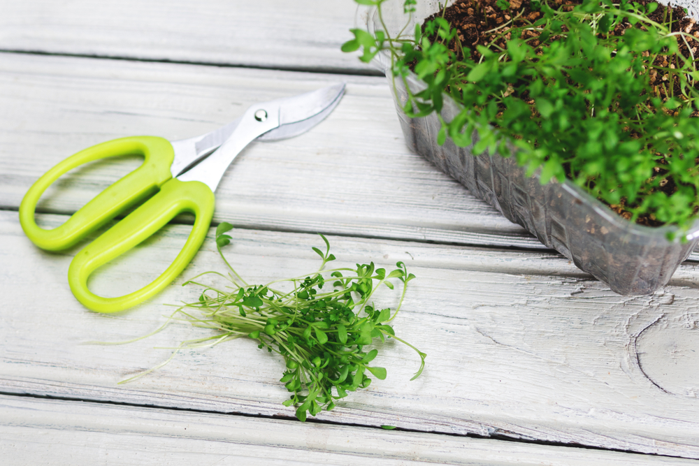 gartenkresse-ernten