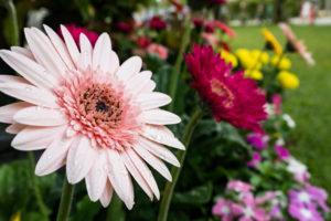 Im Sommer ins Freie: Gerbera draußen pflegen