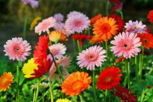 Farbige Blütenpracht: Gerbera im Garten