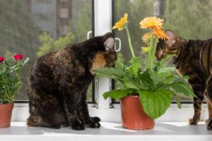 Katzen und Gerbera: Verträgt sich das?