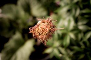 Wichtig: Verblühte Blüten der Gerbera immer abschneiden!