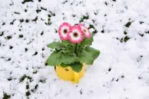 Ist die Gerbera winterhart?
